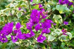 Purpurowy Kwiatonośny winograd Zdjęcia Stock
