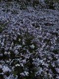 Purpurowy kwiatu łóżko Fotografia Stock
