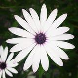 purpurowy kwiatu biel Obrazy Stock
