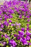 Purpurowy kwiatu ogród Obraz Royalty Free
