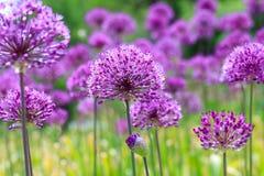 Purpurowy kwiecisty krajobraz Perscy cebula kwiaty Fotografia Royalty Free