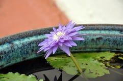 Purpurowy kwitnący nymphaea w pucharze zdjęcie royalty free