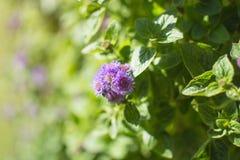 Purpurowy kwitnienie kwiat Ageratum ogród w parku z światłem słonecznym, koźlia świrzepa, świrzepa Obraz Royalty Free
