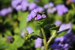 Purpurowy kwitnienie kwiatu Ageratum Zdjęcia Royalty Free