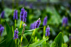 Purpurowy larkspur Obrazy Royalty Free