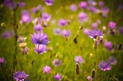 Purpurowy lato kwitnie Czarną Denną stronę Obraz Stock