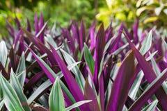 Purpurowy lato kwitnie na zamazanym tle zielona trawa Hizop fiołkowy kolor Hyssopus officinalis obrazy stock