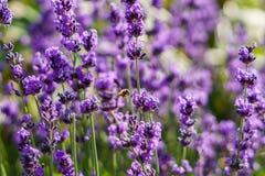 Purpurowy lavander kwitnie przy ranku czasem z blured tłem w ogródzie Obraz Royalty Free