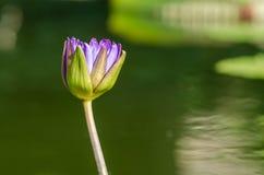 Purpurowy leluja ochraniacza kwiat Obraz Stock