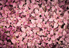 Purpurowy liścia tło Obrazy Royalty Free