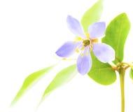 Purpurowy Lignum vitae kwitnie w Azja Południowo-Wschodnia na białym backgrou Zdjęcia Royalty Free