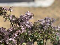 Purpurowy lily kwiat W kwiacie w pustyni Fotografia Stock