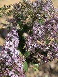 Purpurowy lily kwiat W kwiacie w pustyni Zdjęcie Royalty Free