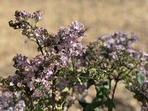 Purpurowy lily kwiat W kwiacie w pustyni Obraz Royalty Free