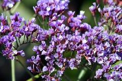 Purpurowy Limonium bourgeaui obrazy stock