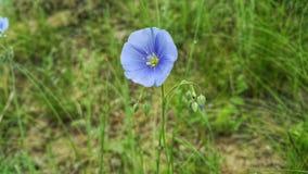 Purpurowy lna kwiat Lna zakończenie Kwiat len jest łąkowym kwiatem Kwiat len r na łąkach Fotografia Stock