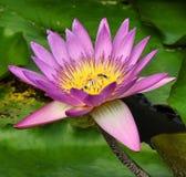 Purpurowy lotos Zdjęcia Stock