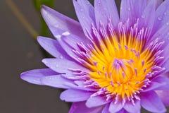 Purpurowy lotos fotografia stock