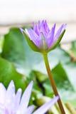 Purpurowy lotos obrazy royalty free
