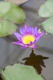 Purpurowy lotos Zdjęcie Stock