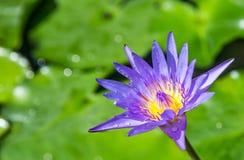 Purpurowy lotos Zdjęcia Royalty Free
