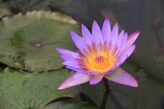 Purpurowy lotos Zdjęcie Royalty Free