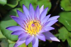 Purpurowy lotos i pszczoły obrazy stock