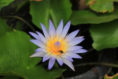 Purpurowy lotos jest pięknym kwiatem na zielonym natury tle Zdjęcia Royalty Free