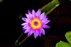 Purpurowy lotos lub Purpurowa wodna leluja fotografia stock