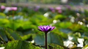 Purpurowy lotos, purpurowa wodna leluja w ogródzie Obrazy Royalty Free