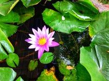 Purpurowy lotos w lotosowym basenie zdjęcie royalty free
