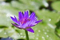 Purpurowy lotos z z pszczołą Fotografia Royalty Free