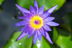 Purpurowy lotos z zielonego liścia odgórnym widokiem Zdjęcia Stock