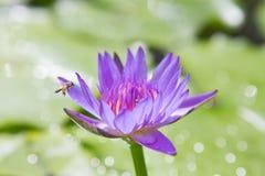 Purpurowy lotos z zielonym liściem z pszczołą Obraz Royalty Free