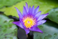 Purpurowy lotos z zielonym liściem Fotografia Stock