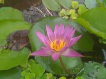 Purpurowy Lotosowego kwiatu piękny lotos obraz royalty free