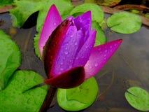 Purpurowy lotosowy kwiat Fotografia Stock