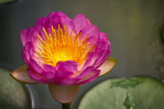 Purpurowy lotosowy kwiat Obraz Stock