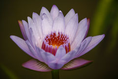 Purpurowy lotosowy kwiat Zdjęcia Royalty Free