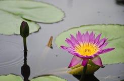 Purpurowy lotosowy kwiat i Lotosowy kwiat fotografia stock