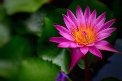 Purpurowy Lotosowy kwiat, kwiatów tła zdjęcia stock