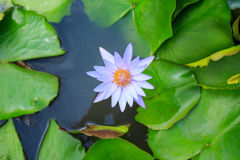 Purpurowy lotosowy kwiat na odgórnym widoku Obraz Royalty Free