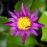 Purpurowy lotosowy kwiat z pszczołą na centrum sekci Obrazy Stock