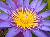 Purpurowy lotosowy kwiat z pszczoły komarnicy koloru żółtego pollen Obrazy Royalty Free