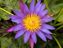 Purpurowy lotosowy kwiat z pszczoły komarnicy koloru żółtego pollen Zdjęcia Royalty Free