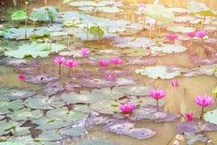 Purpurowy lotosowych kwiatów kwiat w jeziorze Fotografia Stock