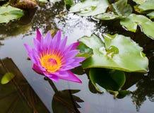 Purpurowy Lotus w stawie Obrazy Royalty Free