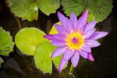 Purpurowy Lotus w stawie Odgórny widok Obrazy Stock