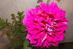 Purpurowy lub Fiołkowy asteru kwiat Obraz Stock