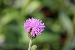 Purpurowy mały żelazny świrzepa kwiat Fotografia Royalty Free